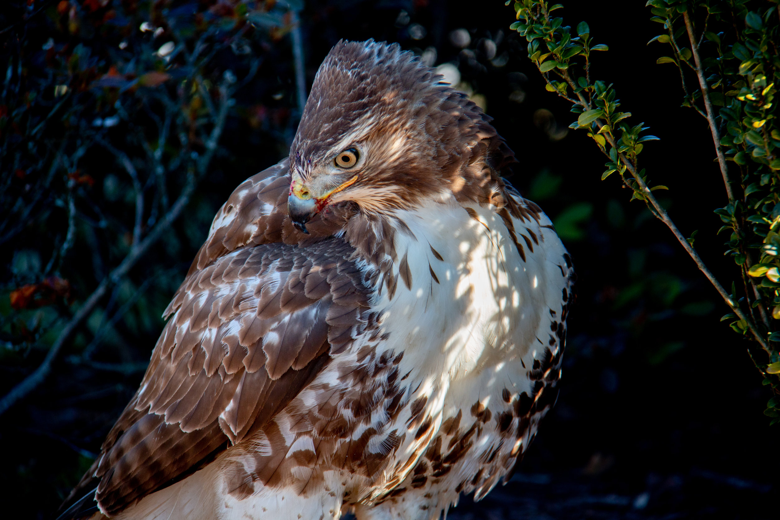 Hawk-1.jpg