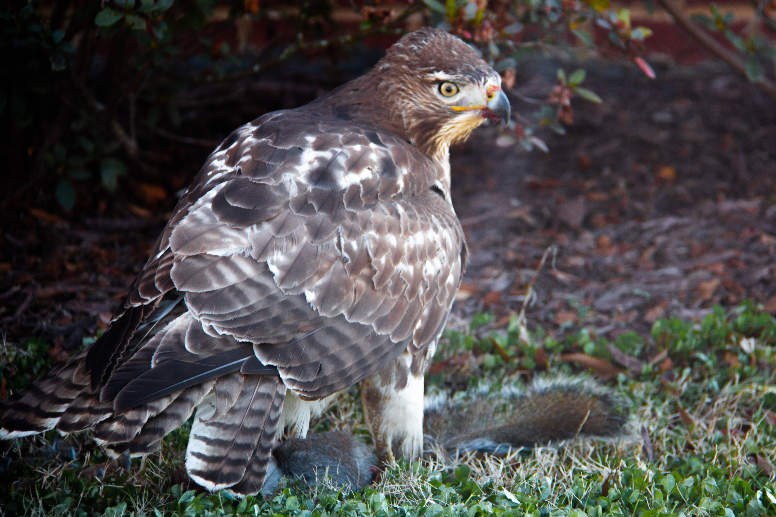Hawk-5.jpg