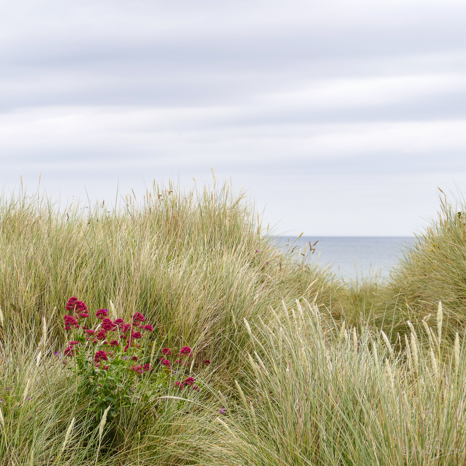 Marram grass.