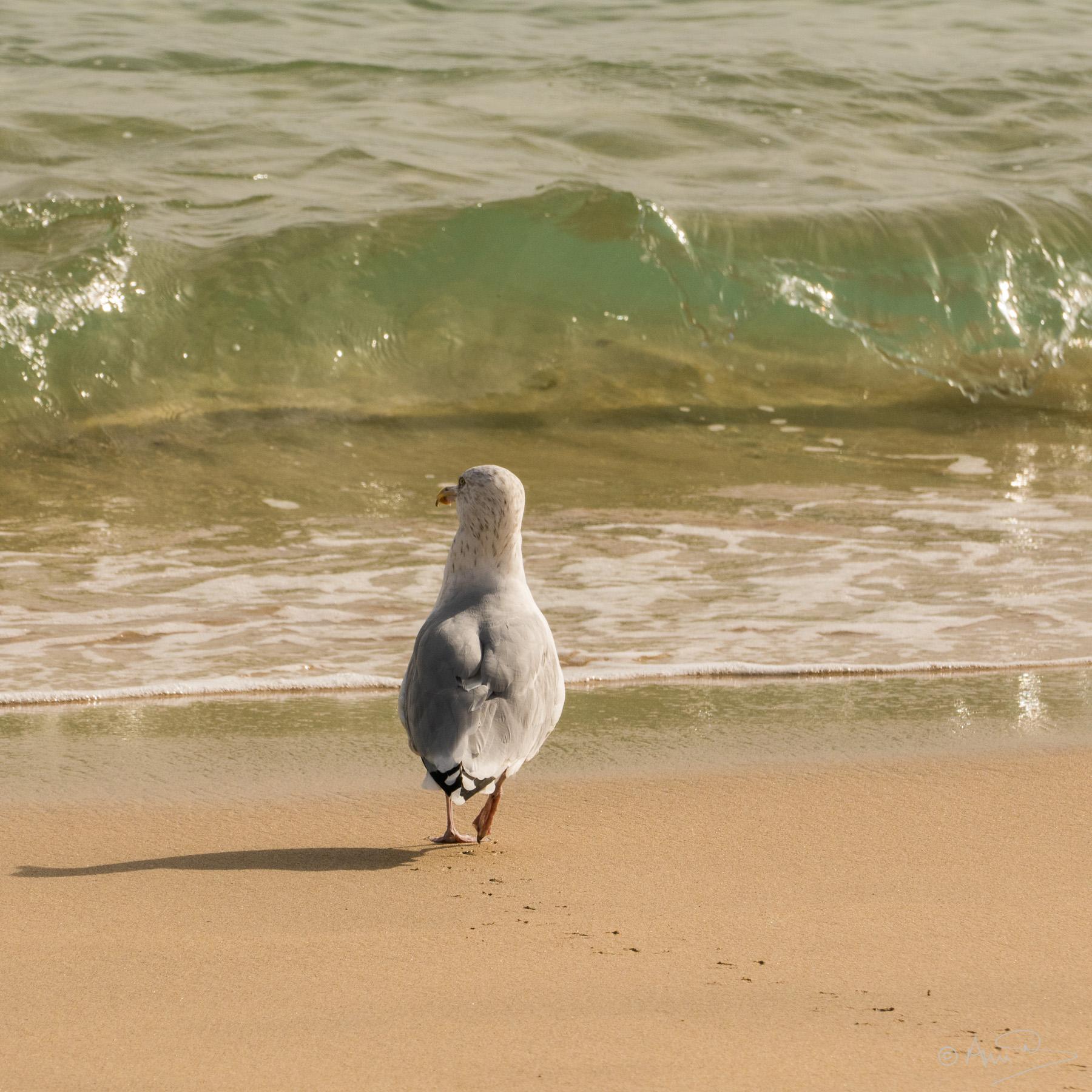 Strolling gull.
