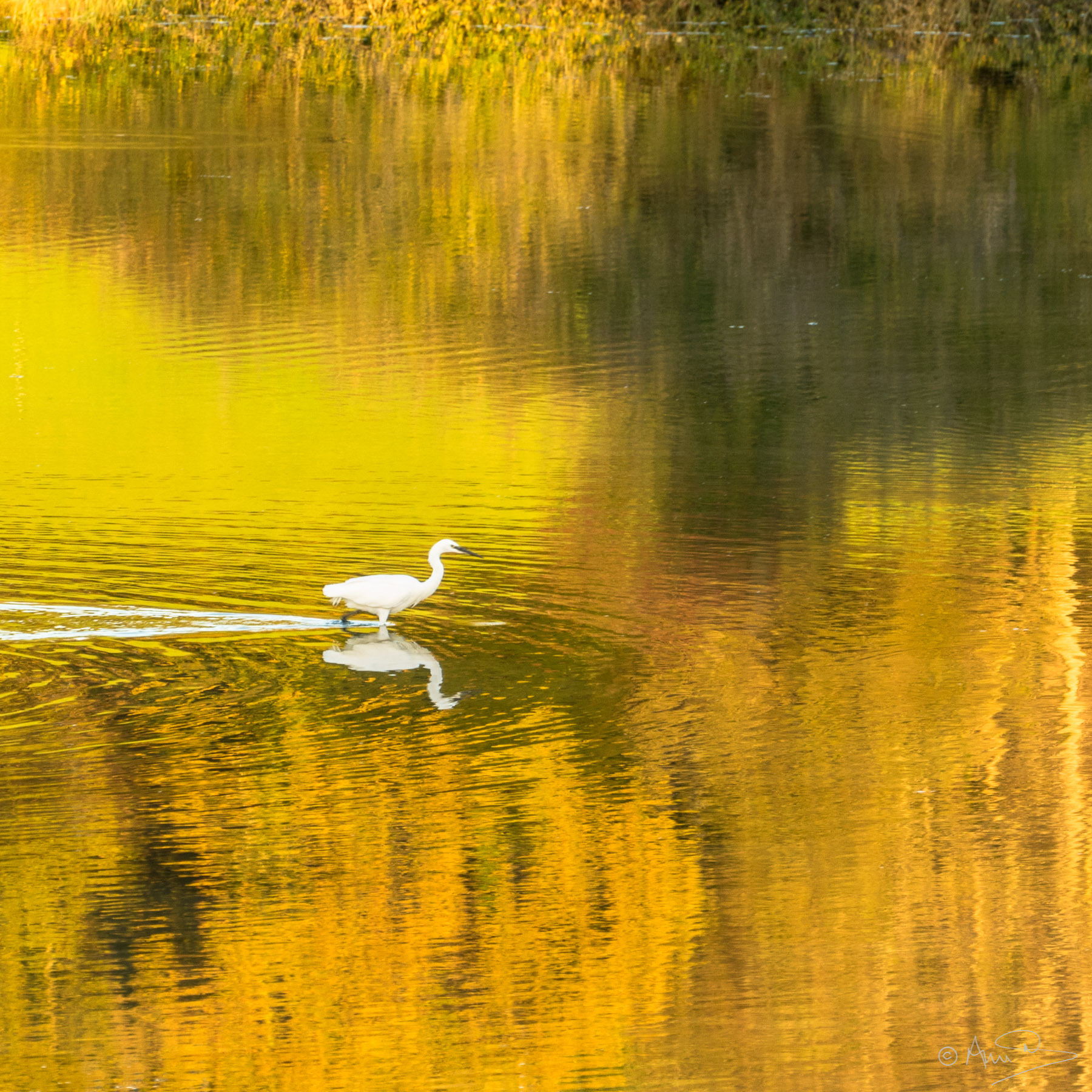 Autumn Egret.