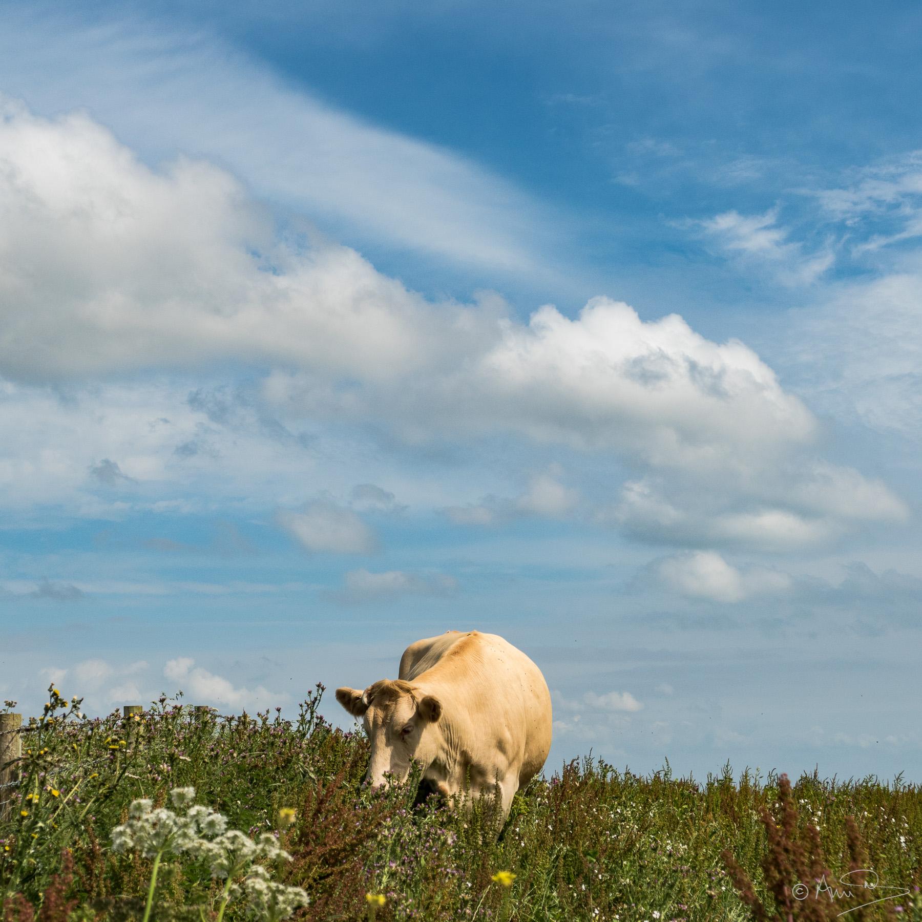 Summer grazing.