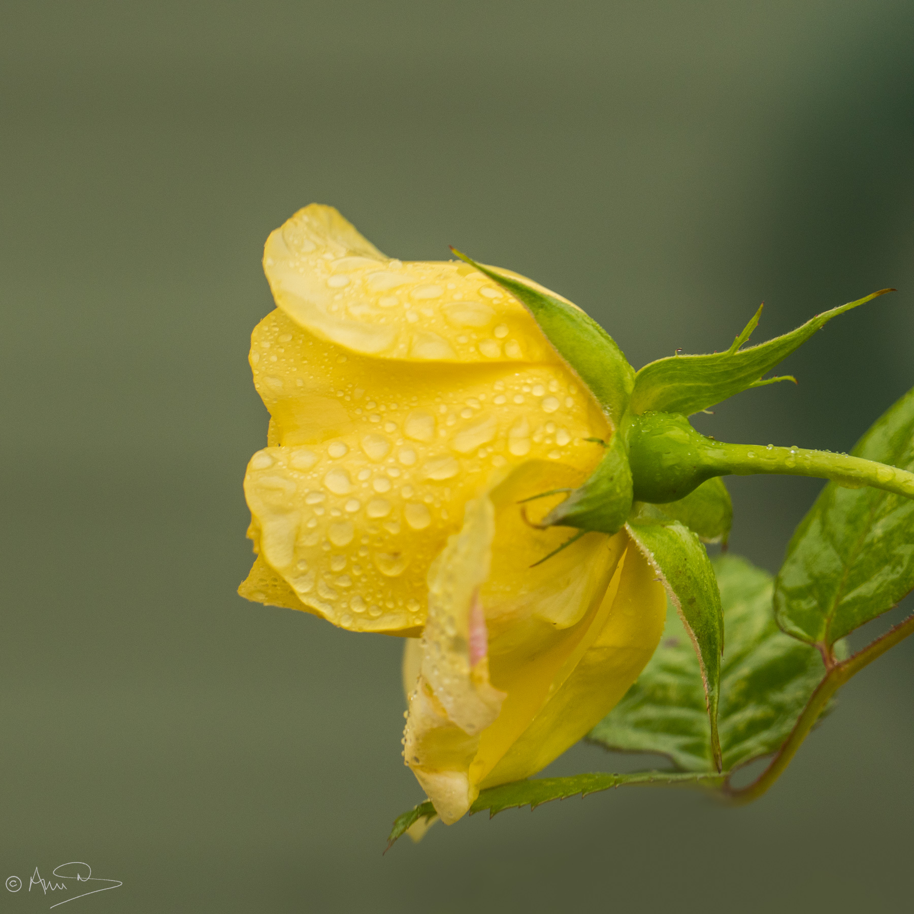 Yellow rose 2.