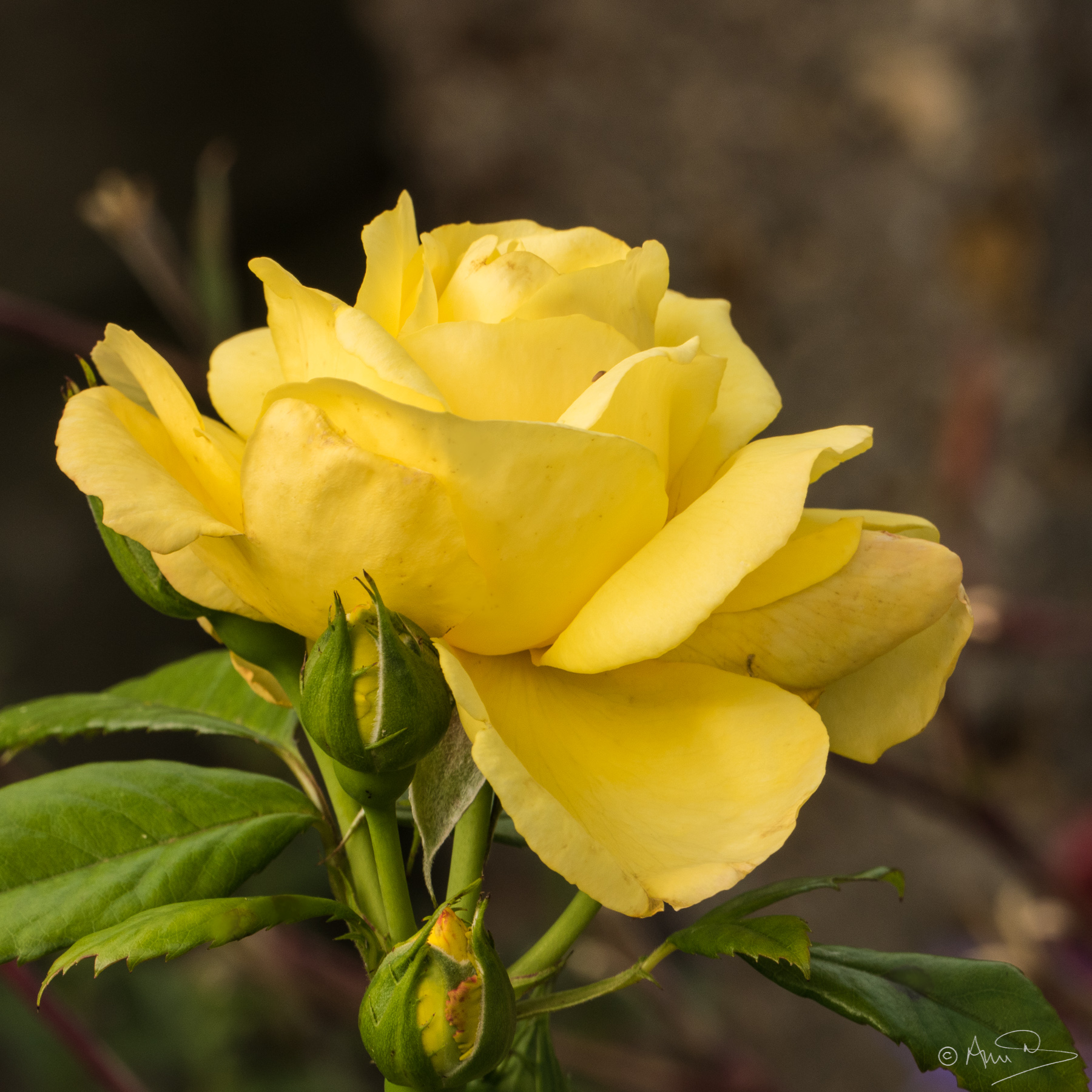Yellow rose 1.