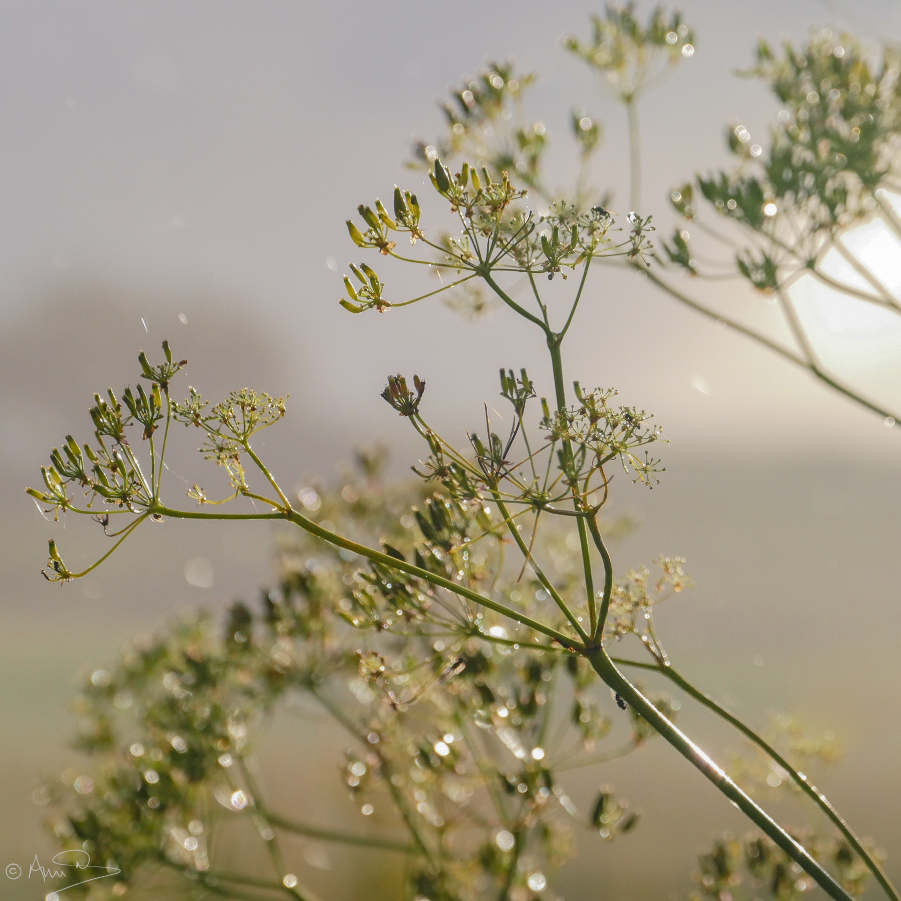 Cow parsley shower