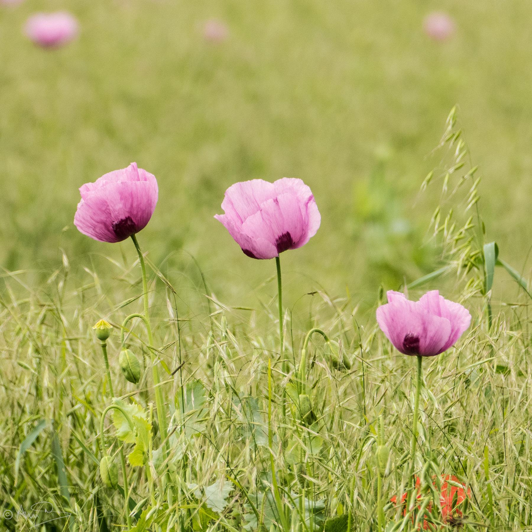 Wild opium poppies