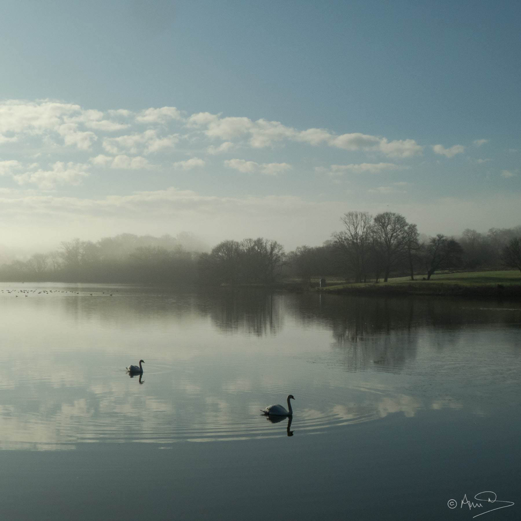 Misty morning with swans