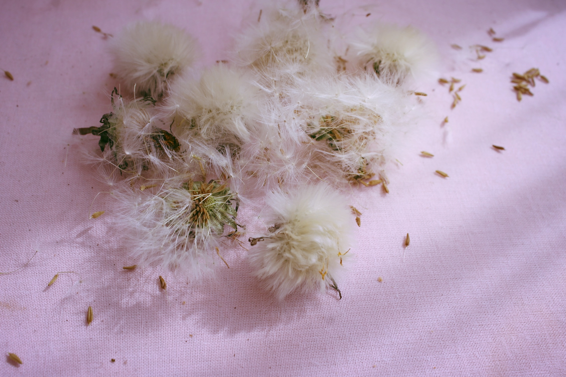 After picking and drying out the roots, I am left with these lovely seed heads, aren't they pretty?