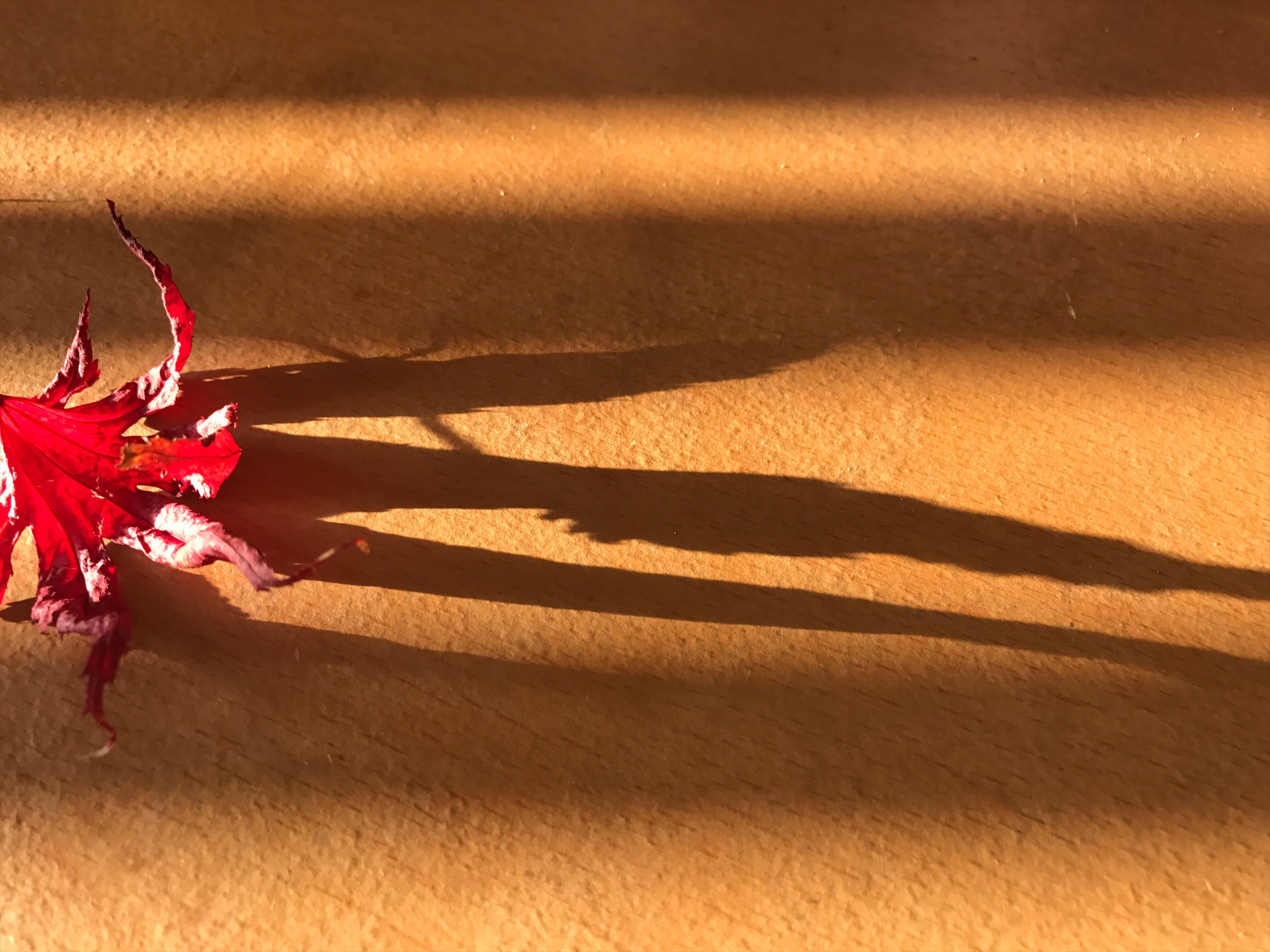 Japanese maple leaf casting shadow in the afternoon sun