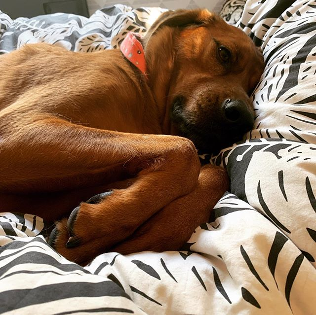 "Sometimes I just gotta break the ""no dogs on the bed👆"" rule @mrjasonaalon ....🤪 Because she's just tooooooo cute!! 😍😍😍"