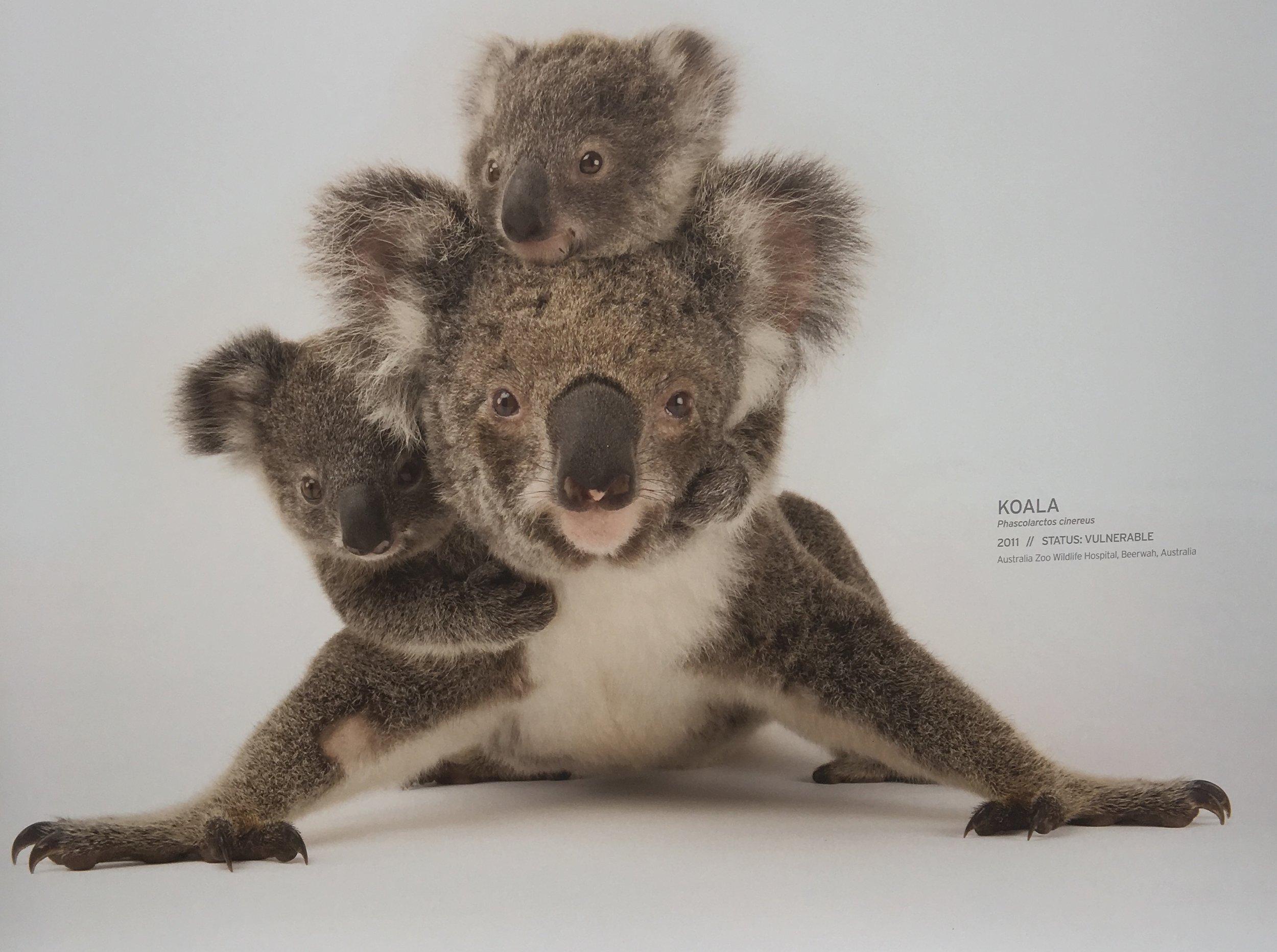 Marsupial love