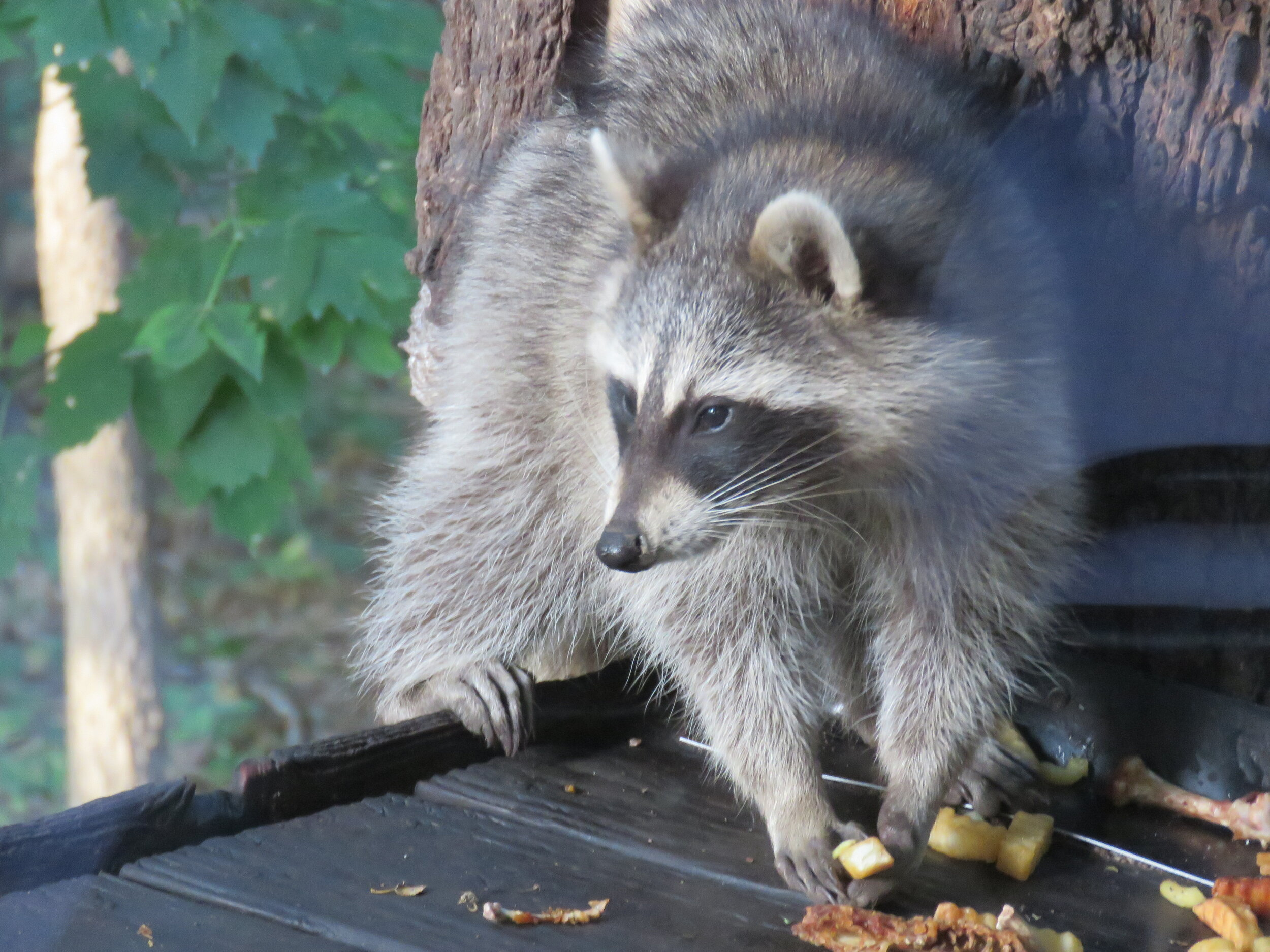 Dining with raccoons at Alpine Inn… it's not for everyone. Photo courtesy of Lisa and Tim Trudell.