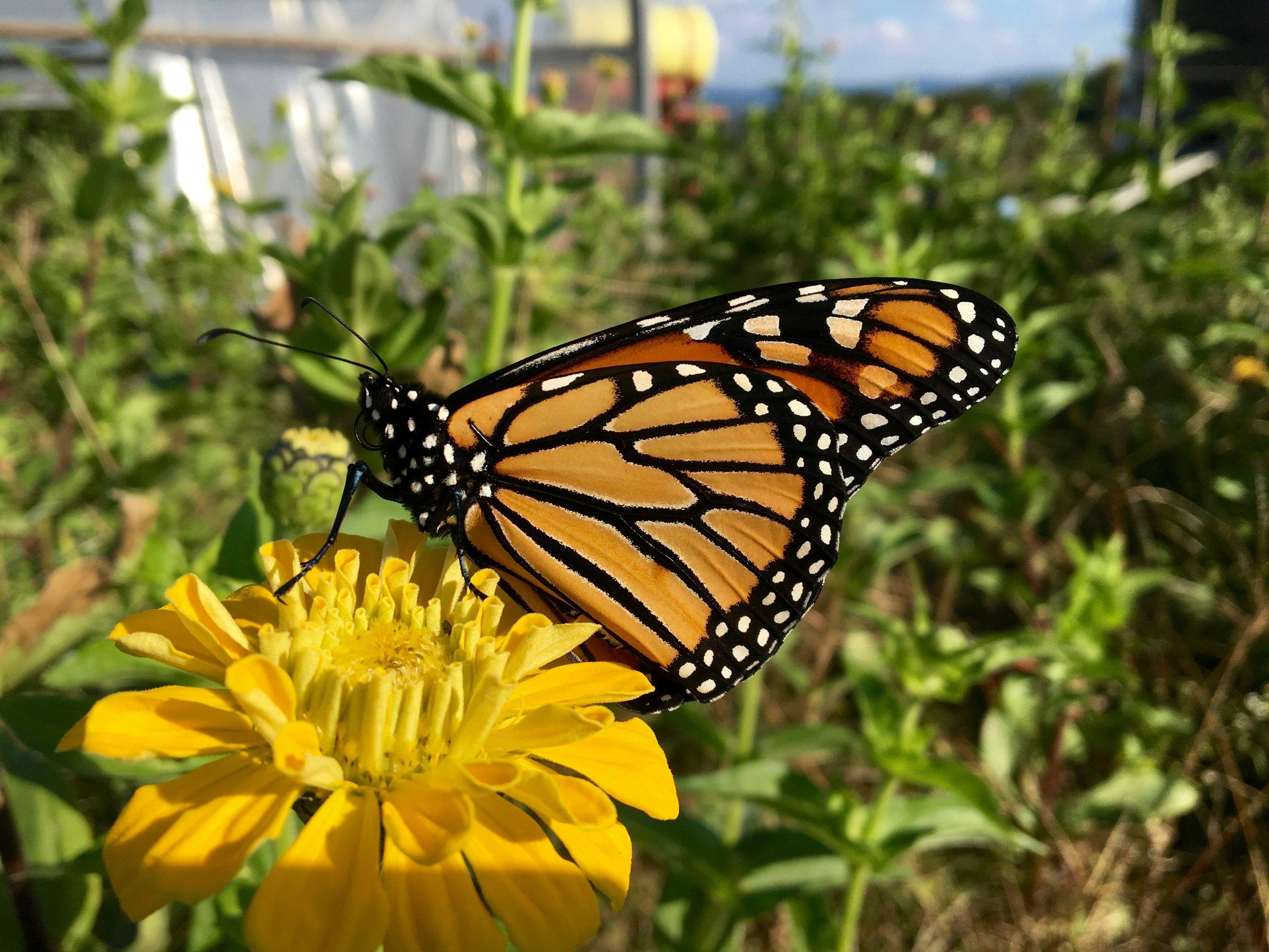 Monarch on Flower.jpg