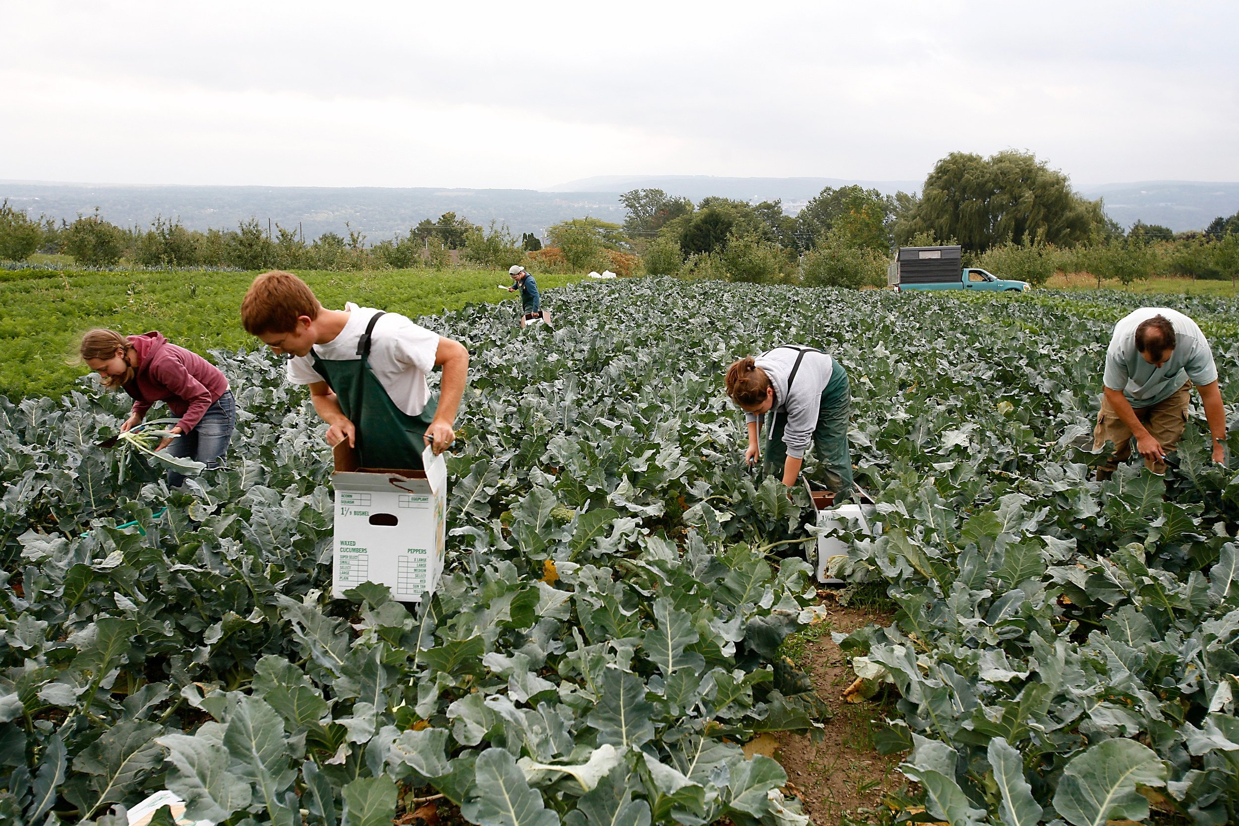 Broccoli Harvest.jpg
