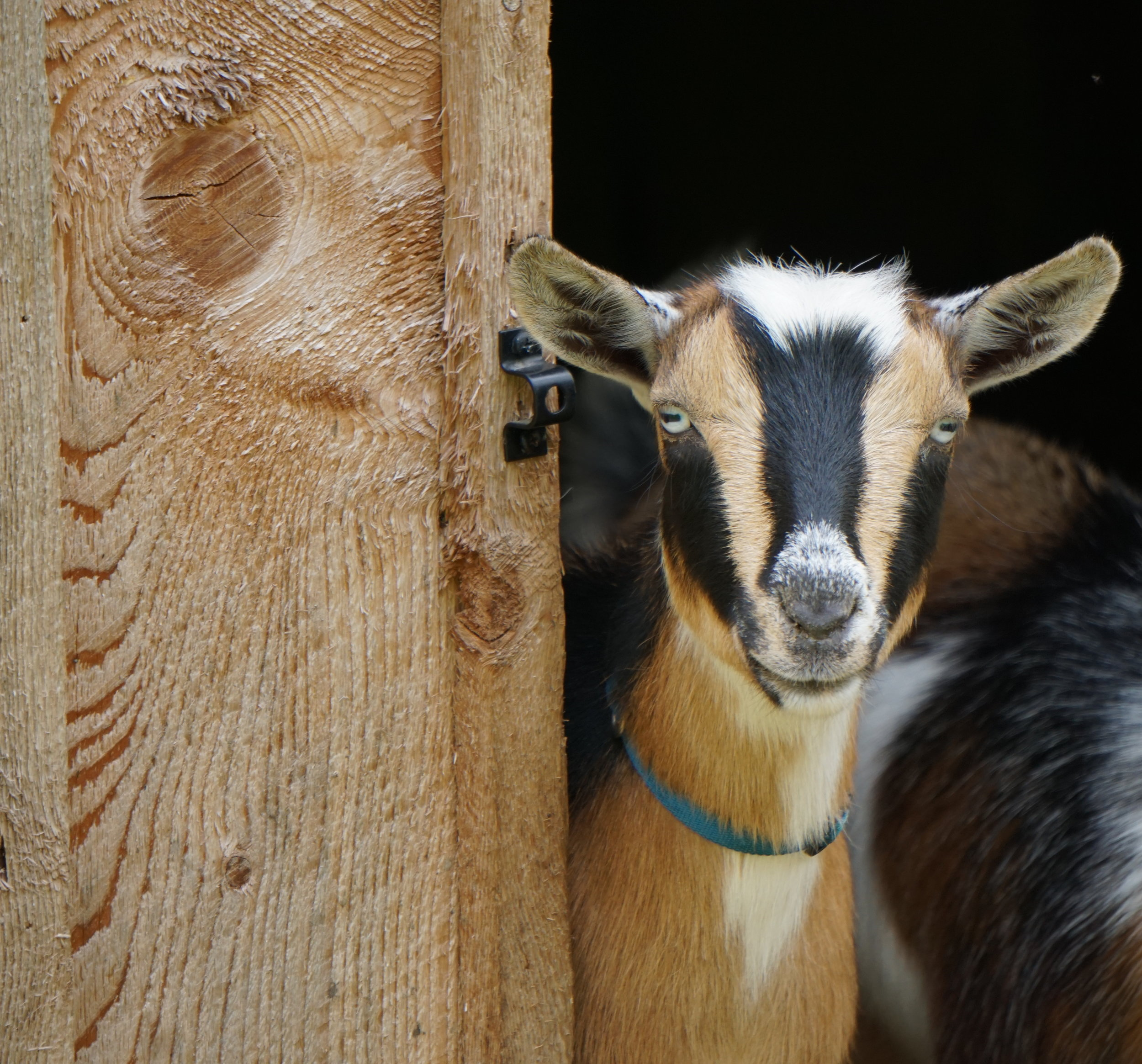 Goat-In-Doorway.JPG