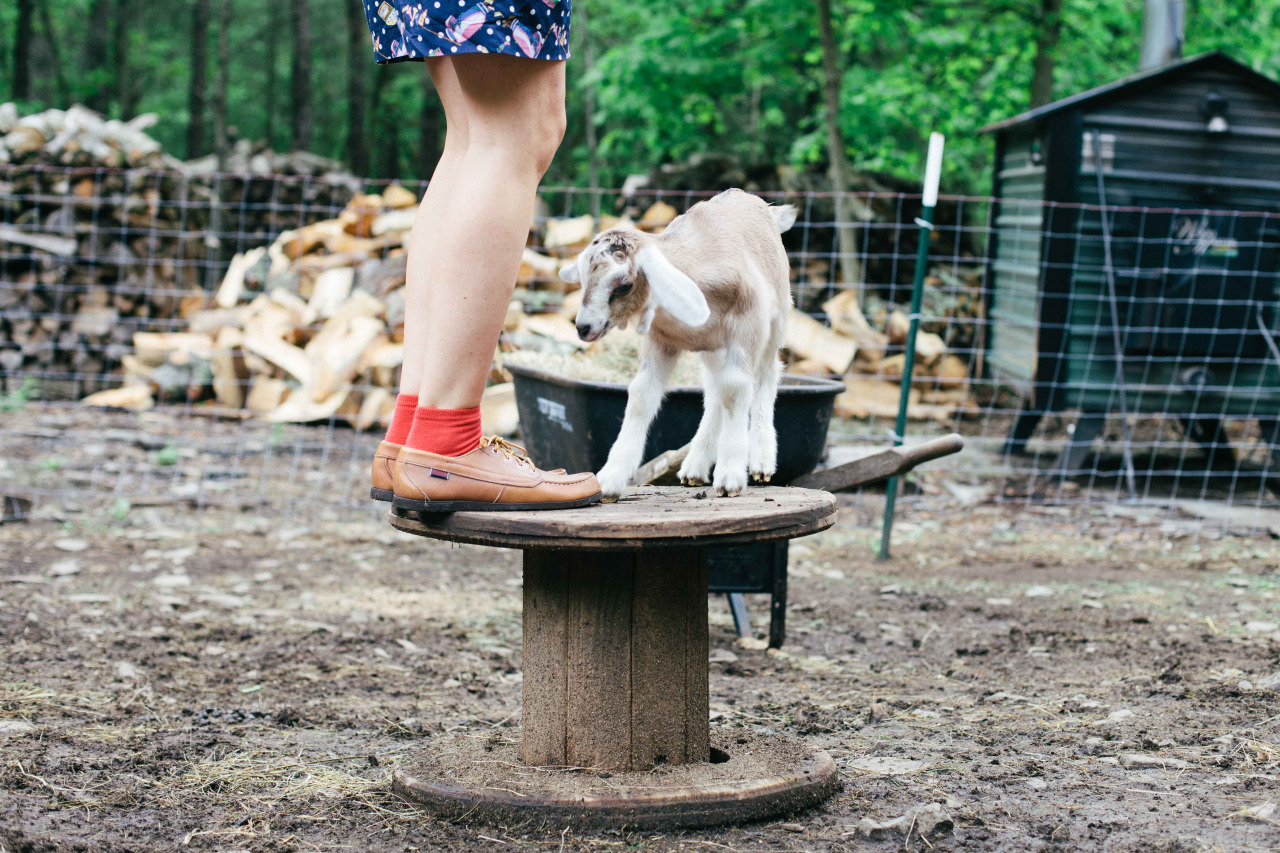 One more of Huckleberry, my favorite goat. Saugerties, New York - May 2014.
