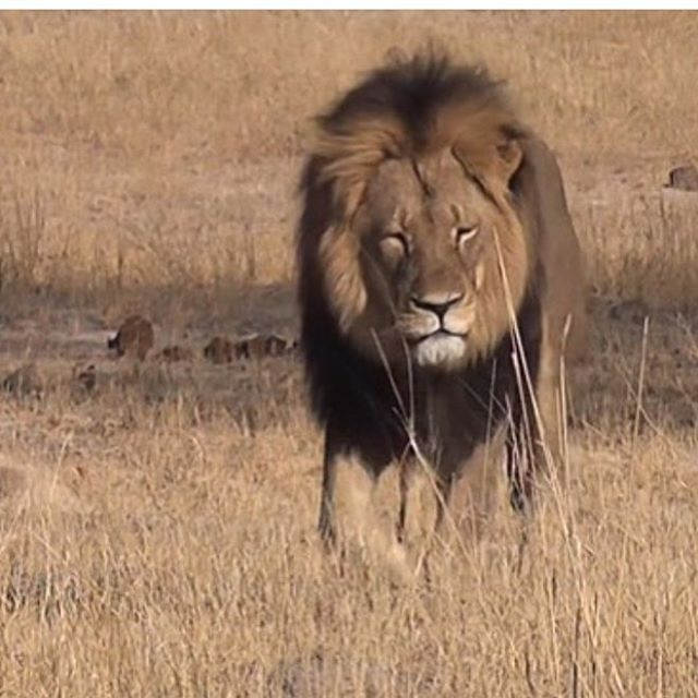 We are so heartbroken about the death of #cecilthelion -- trophy 'hunting' like this should be banned everywhere in the world and criminalized! #animalrights #protectanimals #protectlions #bantrophyhunting
