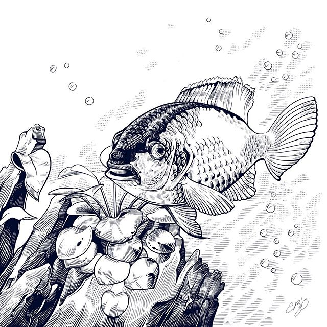 To help relieve some stress and give you some peace. This is my Electric Blue Acara. She's always following everywhere asking for food. She'll even eat out of my hand. #procreate #blackandwhite #crosshatching #fish #electricblueacara