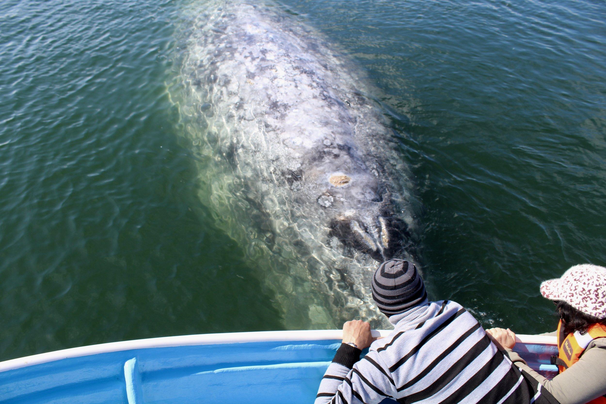 whale up close.jpeg