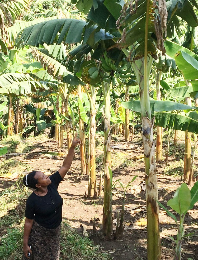 Jane showing off her young plantain trees.