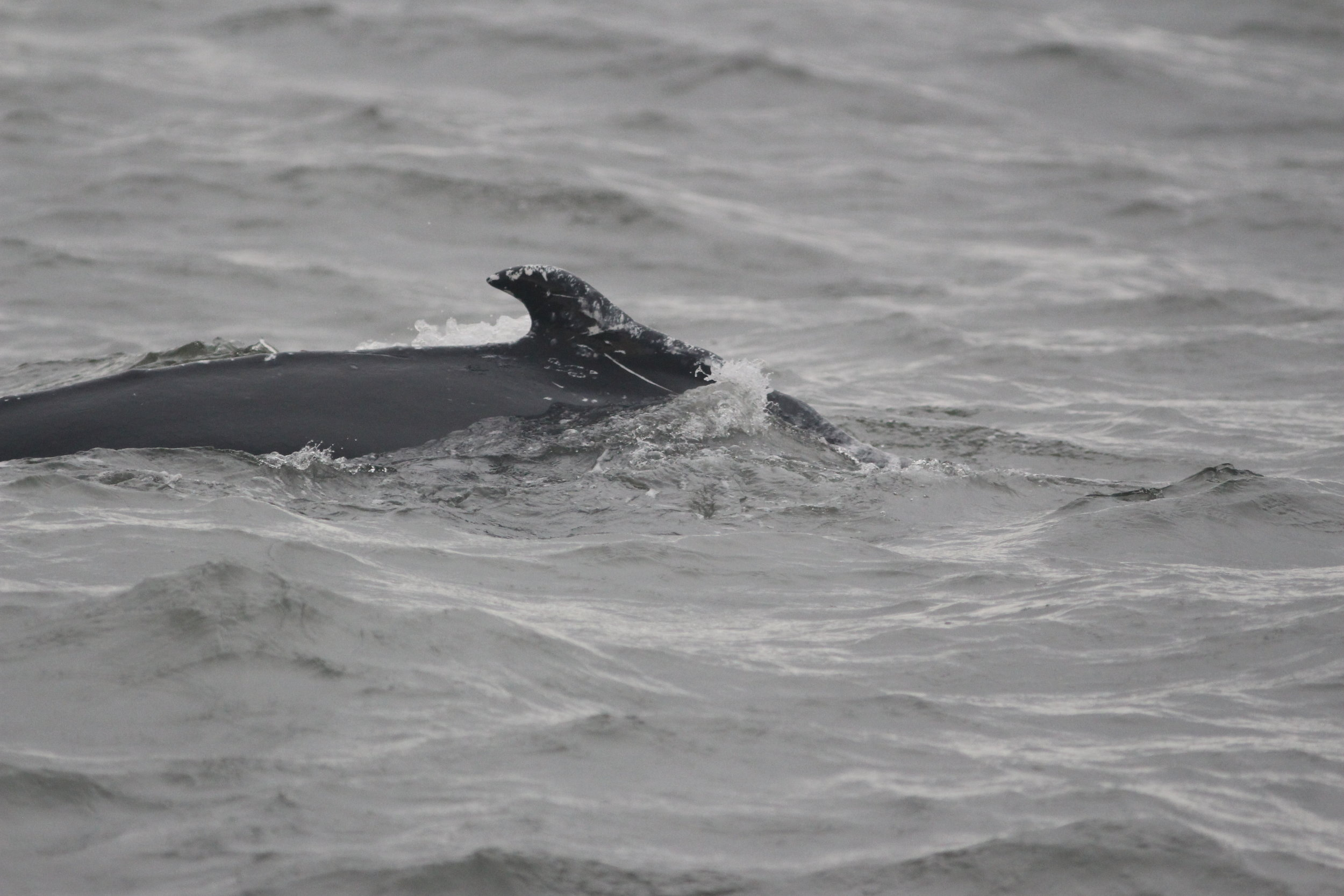 whale outside of channel_AMCS photo.JPG
