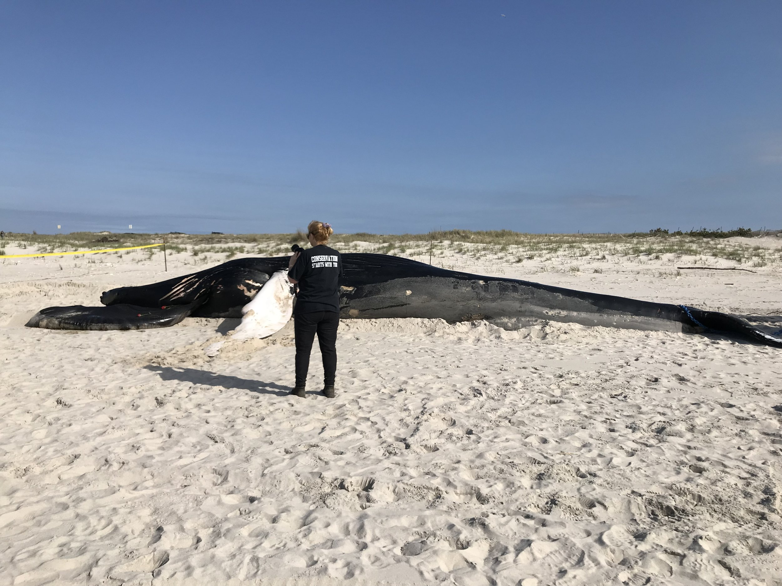 Atlantic Marine Conservation Society humpback whale Westhampton 050519.jpeg