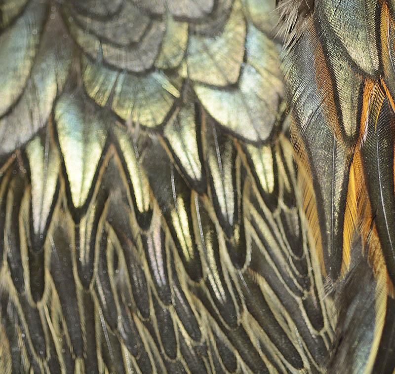 Green junglefowl feathers, chicken feathers.