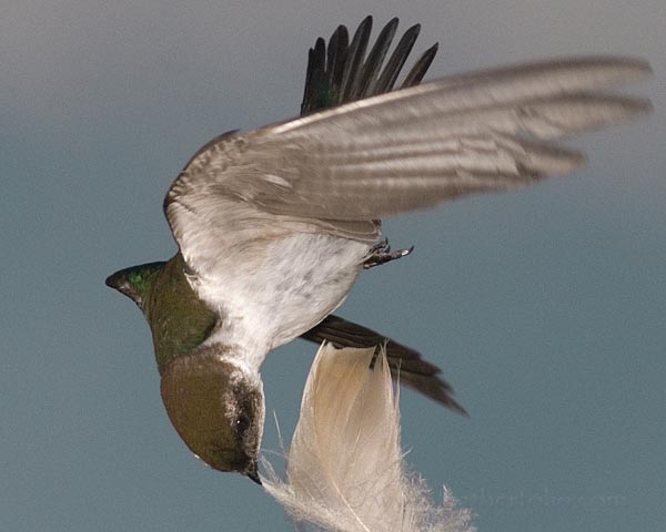 violet-green-swallow-feather-falling