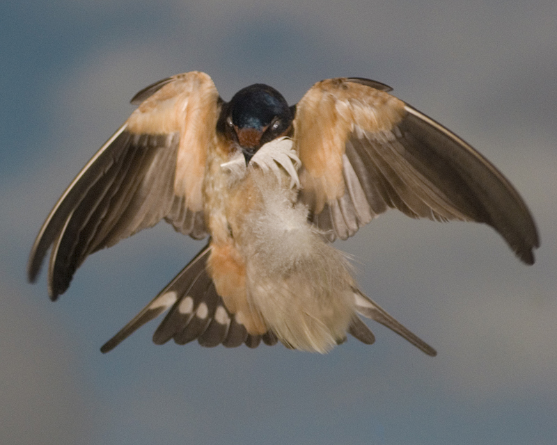 Barn Swallow flying with feather.