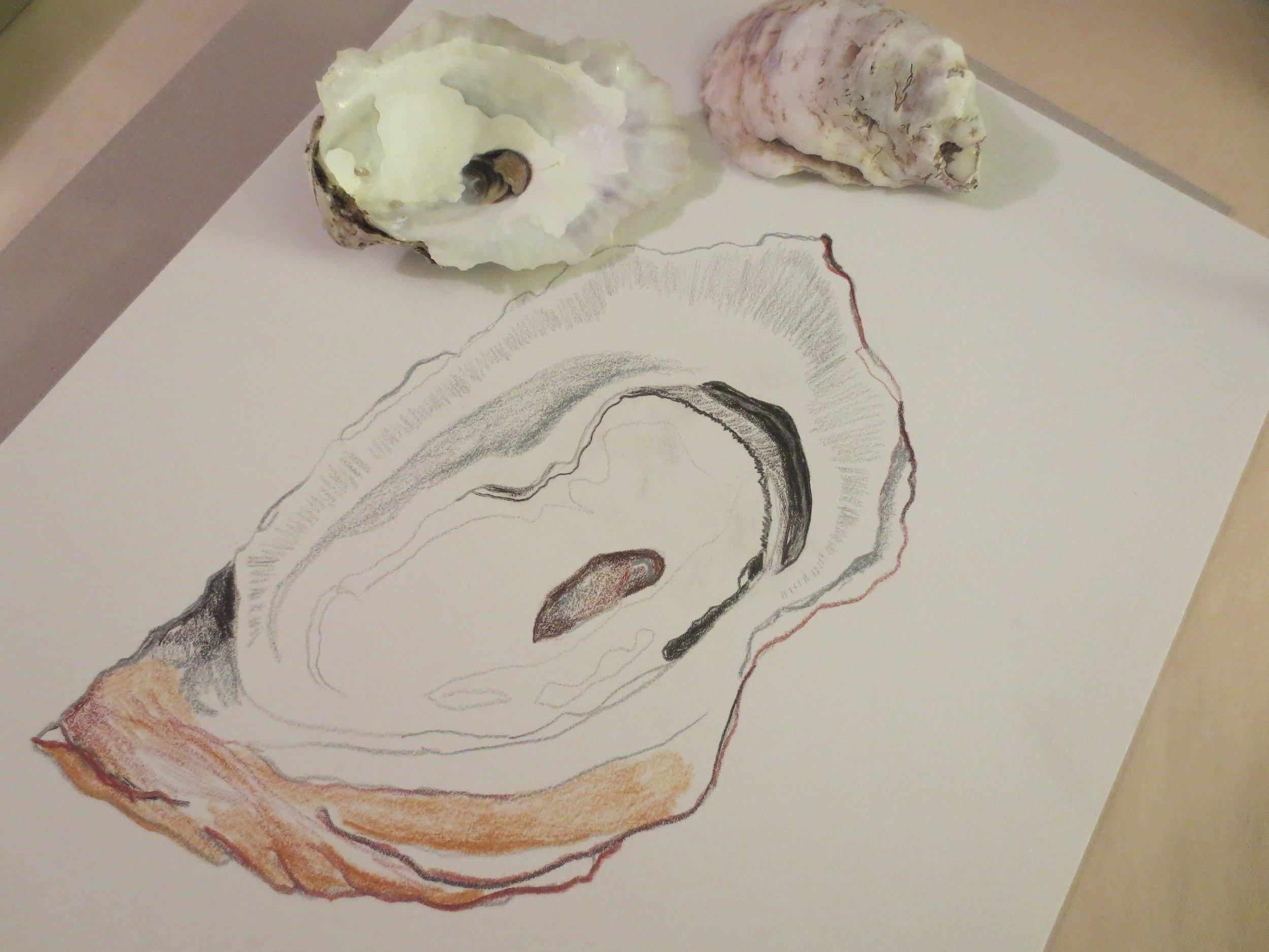 Oyster Study In Progress