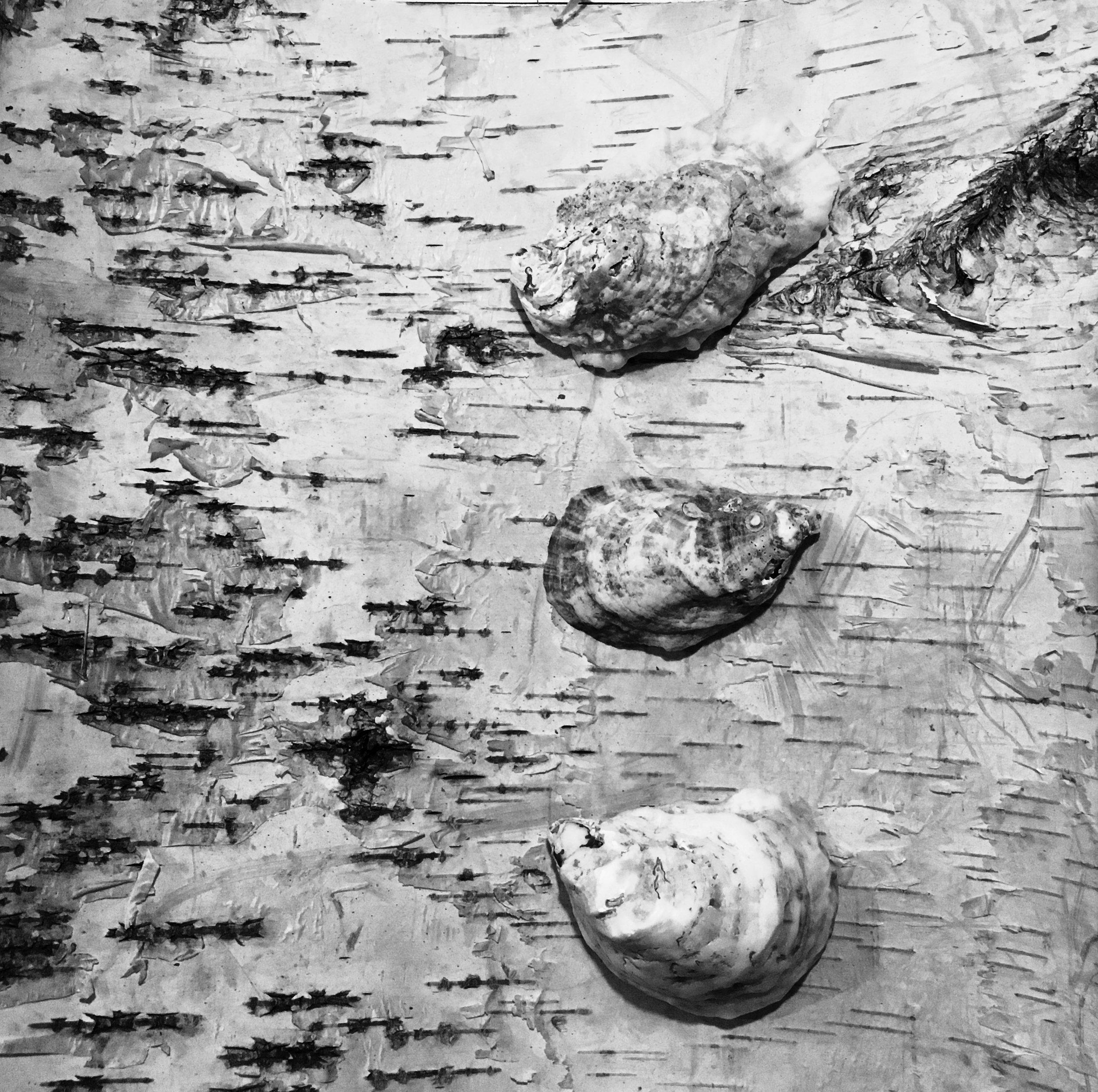 Oyster + Birch Topography in B&W
