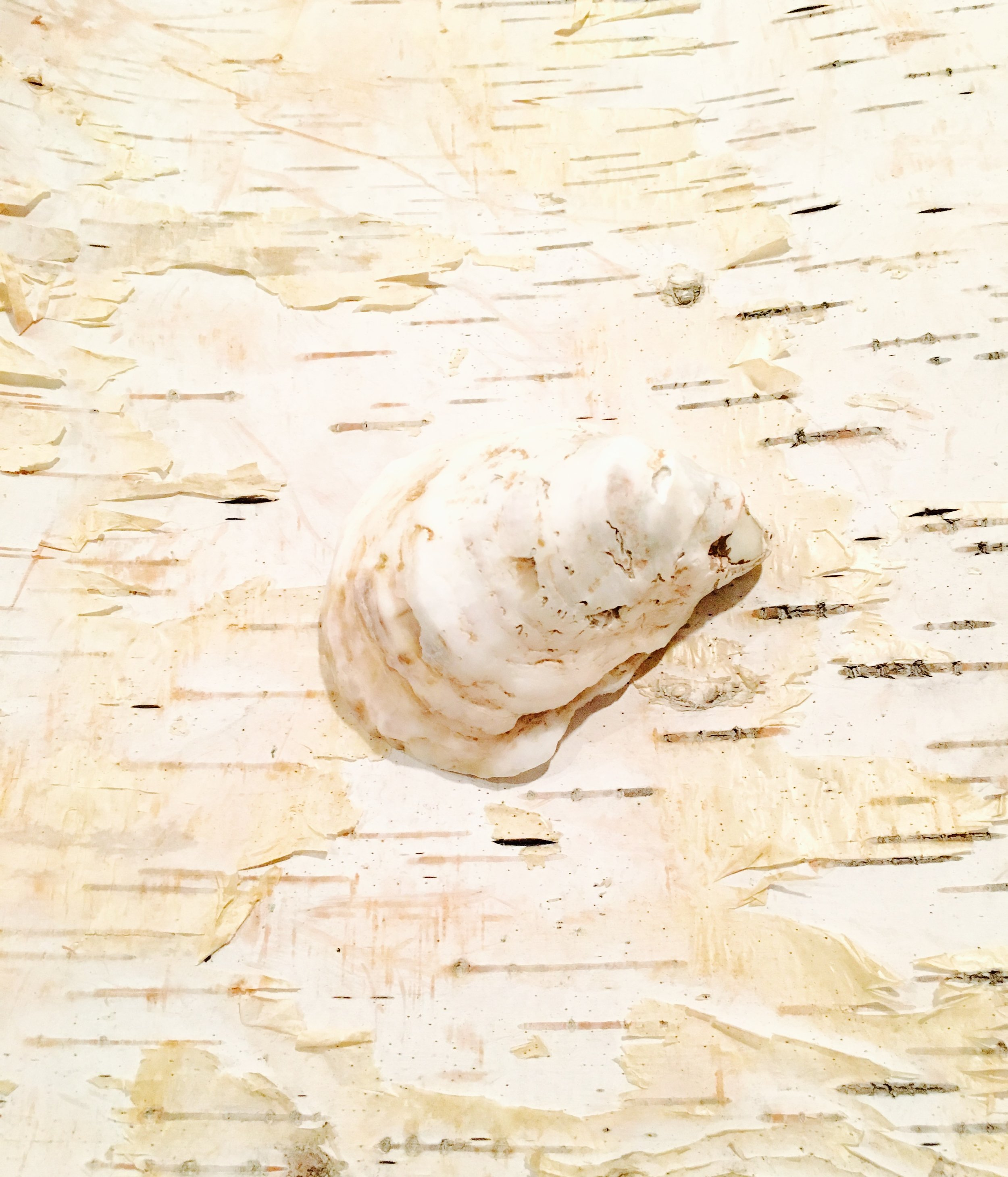 Oyster + Birch Study