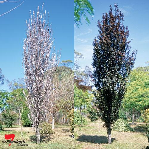 Prunus- Oakville Spire
