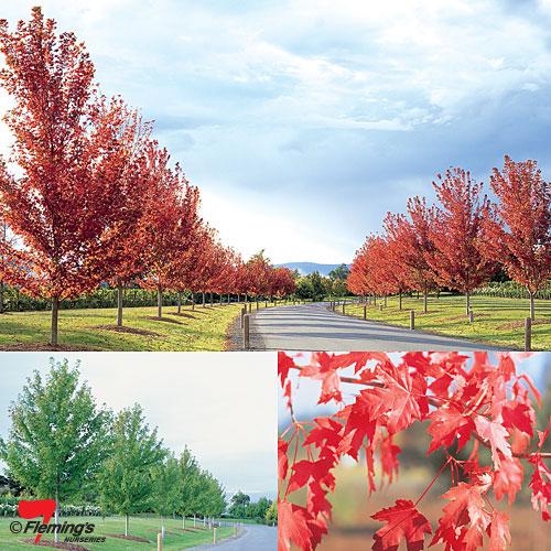 Acer Autumn Blaze