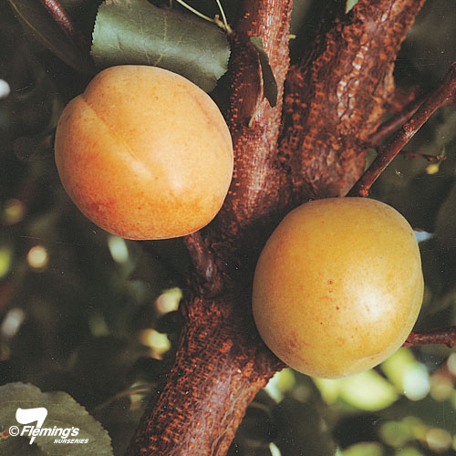 "Apricot ""Moorepark"""
