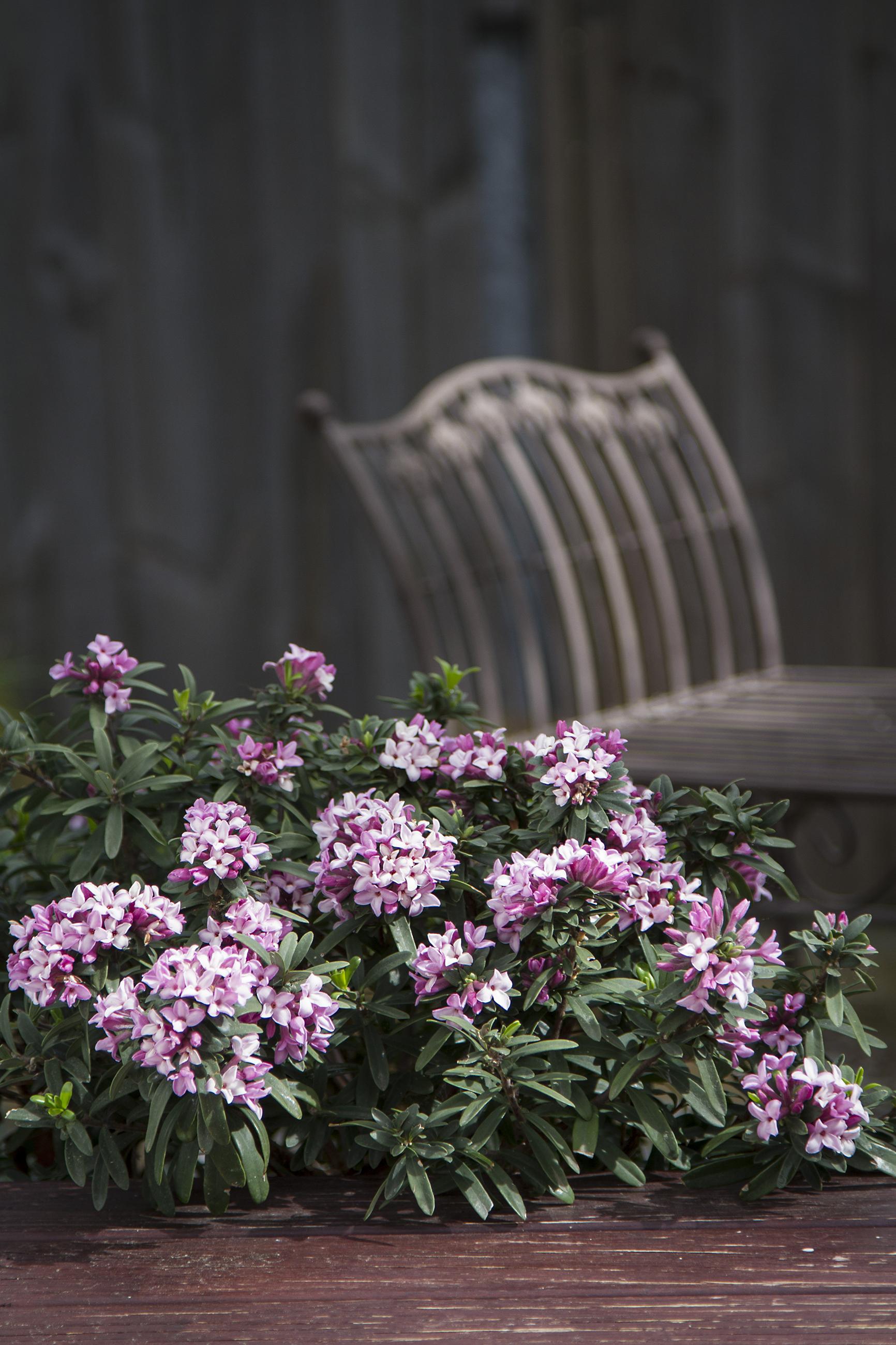 d spring pink pma.jpg