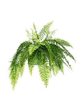BOSTON FERN  A great hanging indoor plant, needs a bright spot regular watering.