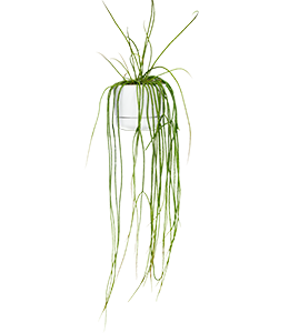 MISTLETOE CACTUS (Rhipsalis)  A hardy cactus with thin succulent stems that are easy to propagate.