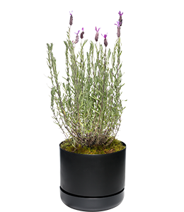 LAVENDER  Loves a hot, dry position and low humidity.