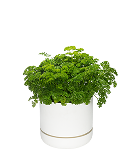 PARSLEY  Grows easily from seed or seedlings and tolerates mild neglect.