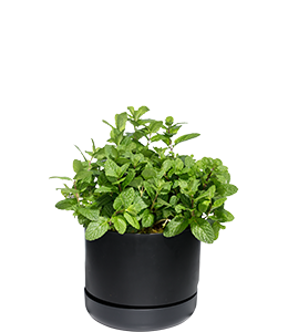 SPEARMINT  Loves lots of water and space, plant in a pot to contain it.