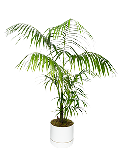 KENTIA PALM  A popular age-old indoor plant, can also be grown outdoors.