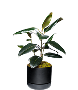 RUBBER PLANT  Best kept as an indoor specimen only!