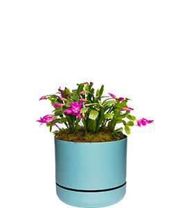 ZYGOCACTUS  Great in hanging baskets and small pots.