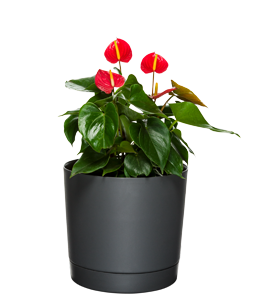ANTHURIUM  With the right care, these will flower all year round.