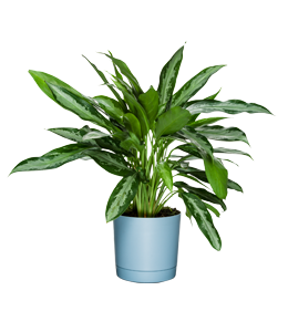 BLACK LANCE  One of the best houseplants that can tolerate lower light levels.