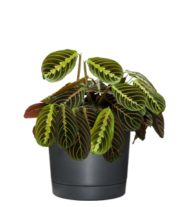 CALATHEA  Leaves are paddle-shapped with show-stopping beautiful patterns.