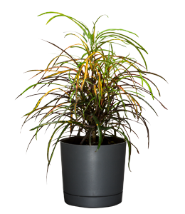CROTON  An easy-to-grow plant known for the colour and pattern of its leaves.