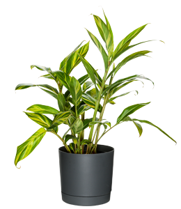 VARIEGATED SHELL GINGER  A hardy landscaping plant with tough variegated foliage and hanging flowers.