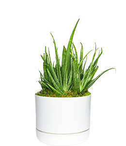 ALOE VERA  World-renowned for its healing qualities.